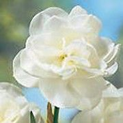 Narcissus 'Rose of May' (Daffodil 'Rose of May') Click image to learn more, add to your lists and get care advice reminders each month.