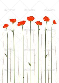 Red Poppies Illustration