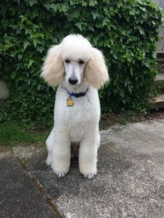 6 month old white male Standard Poodle, Nico Weltmeister Von Herrick.