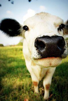 Cows make me happy. :)