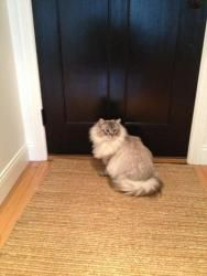 DOUG URGENT!!!!!!!!!!!!!!!!!: Ragdoll, Cat; Rochester Hills, MI HI MY NAME IS DOUG, I AM A ONE YEAR OLD DECLAWED RAG DOLL BEAUTIFUL LOVABLE , VERY FRIENDLT KITTY. MY FAMILY IS MOVING AND THEY TELL ME I CAN'T COME WITH THEM BECAUSE THEY DON'T HAVE TIME FOR ME. THEY ARE LEAVING ON FEB. 28 2013. I AM PRAYING THAT SOMEONE WILL SEE ME AND WANT TO ADOPT ME BEFORE THE 28TH. PLEASE CALL EIRENE AT COMPANION PET RESCUE 248-981-6582