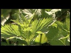 Mire jó a csalán? - YouTube Health And Beauty, Plant Leaves, Herbs, Make It Yourself, Plants, Herb, Flora, Plant, Planting