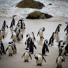 Pinguine Boulders Beach, Kapstadt, Südafrika