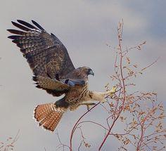 Red-tailed Hawk. Idaho
