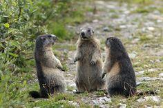 Marmottes en  réunion.