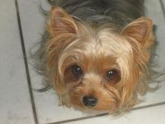 Moe IL is an adoptable Yorkshire Terrier Yorkie Dog in Highland, IL. Moe is a 6 lb, 4 yr old Yorkshire Terrier that is a real love bug.   He was turned in by a very good hobby breeder - he was kept in...