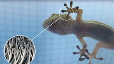 Gecko-inspired adhesive tape finally scales to market At present, the company is tailoring its gecko-inspired adhesive products to suit its customers needs