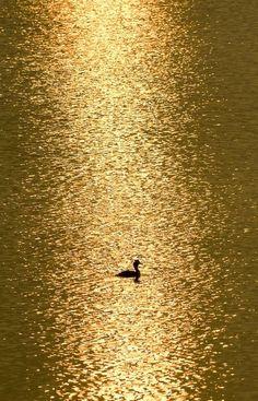 Golden Swim