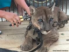Enchaîné à l'arrière d'une voiture toute sa vie, ce puma aurait dû mourir mais il a survécu et aujourd'hui... il est libre !