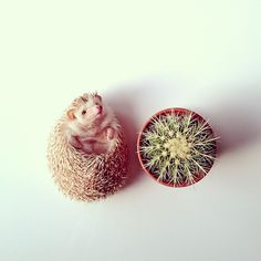Cutest Hedgehog Darcy Darcy De Egel Pinterest Hedgehogs And - Darcy cutest hedgehog ever