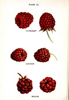 Botanical - Fruit - Raspberry varieties 1