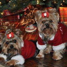 My precious little Yorkies Dazzle & Daisy - Christmas 2011