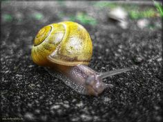 Yellow snail with Sun on her back HDR