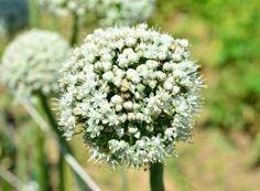 Înflorescență de ceapă Dandelion, Green, Plant, Dandelions, Taraxacum Officinale