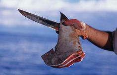 A fisherman holds a freshly cut dorsal fin from a scalloped hammerhead shark (Sphyrna lewini). Every year, humans kill an estimated 100 million sharks. Removing sharks in large numbers can have ripple effects that throw entire ecosystems out of balance.