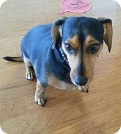 Andalusia, PA - Dachshund/Beagle Mix. Meet Loki, a dog for adoption. http://www.adoptapet.com/pet/12240365-andalusia-pennsylvania-dachshund-mix
