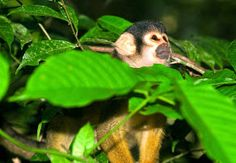 monkey at Lake Sandoval in Tambopata Reserve