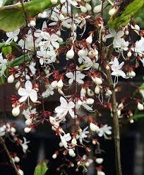 Risultati immagini per Clerodendrum philippinum