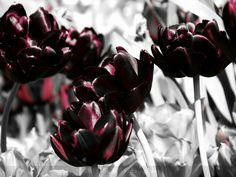 How deep is your love? Missouri Botanical Garden, Botanical Gardens, Burgundy Red Wine, Shades Of Grey, Tulips, Deep, Black And White, Gray, Plants