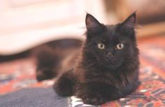 beautiful young black maine coon cat
