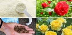 10 DIY Rose Fertilizer & Remedies Available In Your Kitchen & You Never Knew They Exist!