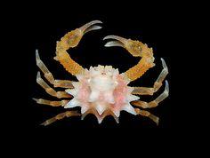 tiny leucosiid crab (Heteronucia vesiculosa) from Moorea Life Under The Sea, Under The Ocean, Sea And Ocean, Deep Sea Creatures, Weird Creatures, Underwater Creatures, Underwater Life, Beneath The Sea, Life Aquatic