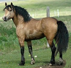 Welsh Cob - from  PETMD: The Welsh Cob is a safe, receptive and surefooted animal, which makes it an excellent trekking horse. Its obedient and gentle disposition also makes it a terrific mount for disabled riders.