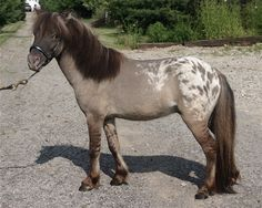 grullo spotted blanket - Miniature Horse stallion Zeb