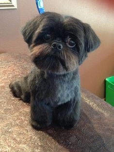 The origin of Shih Tzu is ancient and is covered in a lot of mystery. It has been established that this dog is among the 14 oldest breeds and bones excavat Shih Tzus, Shih Tzu Hund, Shih Tzu Puppy, Cute Puppies, Cute Dogs, Dogs And Puppies, Doggies, Hachiko, Lhasa Apso