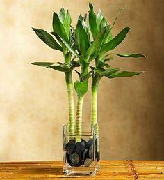planta interior poca luz bambu de la suerte interior