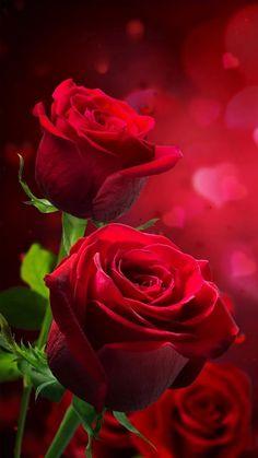 200 Gambar Bunga Mawar Terbaik Di 2020 Bunga Mawar Mawar Cantik