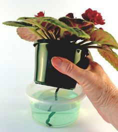 "African violet wick watering: TIP: pot for mature plant should be 4"" diameter at top and less than that in height"