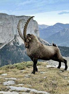 Cabra Montés- Cabra Montés Regal Ibex – The King of the Mountain - Unusual Animals, Majestic Animals, Rare Animals, Animals And Pets, Funny Animals, Strange Animals, Cutest Animals, Beautiful Creatures, Animals Beautiful