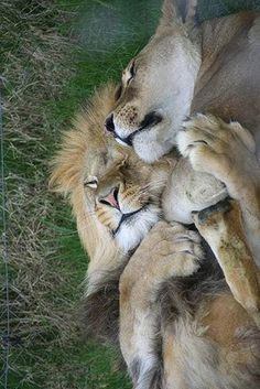 """A Lion Couple:  """"Life is so beautiful, when you have the right partner to share it with..."""""""