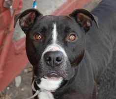 ON DEATH ROW RIGHT NOW 2/10/14. HE NEEDS A FOSTER OR ADOPTER ASAP. Brooklyn Center. My name is BUDDY. My Animal ID # is A0990671. I am a neutered male black and white pit bull mix. The shelter thinks I am about 1 YEAR 1 MONTH old. https://www.facebook.com/photo.php?fbid=751332668212948&set=a.750776631601885.1073742927.152876678058553&type=3&theater