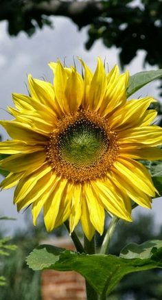 303Pixels: Sunflower