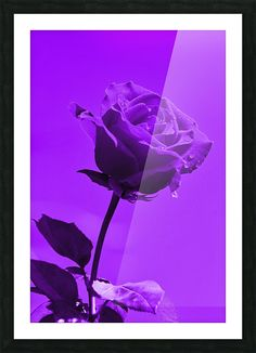 Thula-Photography - 2737 // Art Collection Love Rose, Floating Frame, Stretched Canvas Prints, Adhesive Vinyl, Canvas Artwork, Custom Framing, Wall Murals, Purple, Colors