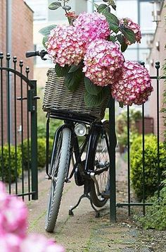 Basket filled with hydrangea pom-poms! I'd love to have a basket on my bike.and have it filled with hydrangea. Hortensia Hydrangea, Pink Hydrangea, Hydrangeas, Pink Flowers, Summer Flowers, Colorful Roses, Lilacs, Vintage Flowers, Fresh Flowers
