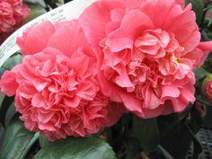 White Camellia, Irises, Nurseries, Shrubs, Peonies, Wedding Decorations, Bouquet, Bloom, Lily