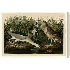 "Gallery Direct 'Night Heron' by John James Audubon Graphic Art on Wrapped Canvas Size: 21"" H x 30"" W"