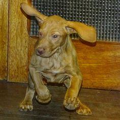 Vizsla puppy, cuccioli di bracco ungherese magyarvizsla.it