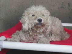 ★❥•ADOPTED/RESCUED!• ❥★Animal ID #A1418121 I am a Female, White Miniature Poodle mix. The shelter thinks I am about 1 year old. I have been at the shelter since September 26, 2015. Orange County Animal Care Center ‒ (714) 935-6848 561 The City Drive South  Orange, CA Fax: (714) 935-6373 https://www.facebook.com/OPCA.Shelter.Network.Alliance/photos/pb.481296865284684.-2207520000.1443862694./902658166481883/?type=3&theater