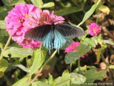 Pipevine Swallowtail enjoying nectar from a Zinnia. weedinwaterinwatchin.com
