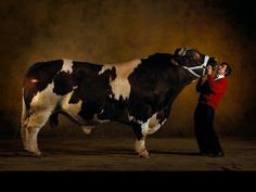 Belgian Blue is a cattle breed famous for its double muscle structure, which makes animals look like bodybuilders of the bovine world Belgian Blue Cattle, Super Cow, Arthus Bertrand, Bull Cow, Pit Bull, Maine, Happy Cow, Gado, Bullen