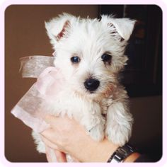 That's my new doggie Bailey! Westie Puppies, Fluffy Puppies, Westies, Animals And Pets, Cute Animals, Adorable Puppies, West Highland Terrier, West Highland White, White Terrier