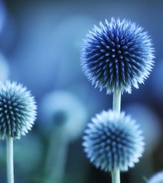Spiky blue flowers of some type... we love them.