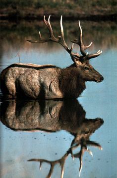 Elk - Reflection - from Folk Mountains Beautiful Creatures, Animals Beautiful, Cute Animals, Baby Animals, Cane Corso, Wild Life, Wildlife Photography, Animal Photography, Elk Hunting