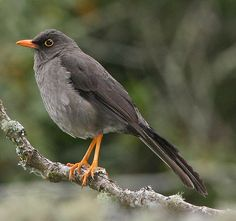Great Thrush - found in Bolivia, Colombia, Ecuador, Peru, and Venezuela. At  up to 14 in in length and weighing up to 5.4 oz, it is the largest thrush in the Americas, although a couple of Asian species equal or surpass its size. The Great Thrush's size distinguishes it from the several other uniform slaty-colored thrushes in its range. Its natural habitats are subtropical or tropical moist mountain forests.