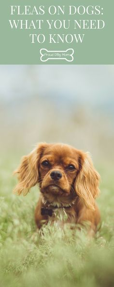 Fleas on Dogs: What You Need To Know | How To Remove Fleas From Your Dog | Dog Flea Prevention | Dog Flea Treatment | Natural Flea Treatment |