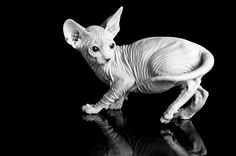 Wrinkles! #hairless #sphynx #cat #kitten